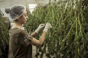 frau beim cannabis anbau
